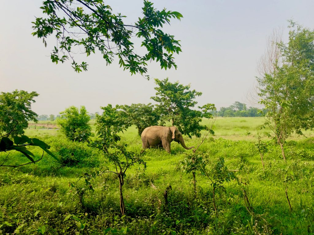 Freed elephant chitwan